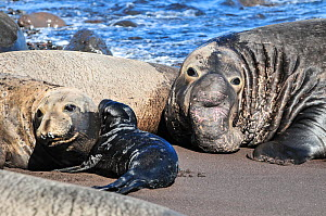 Northern elephant seal (Mirounga angustirostris) female with pup on beach, with large male behind. Guadalupe. - Stephane Granzotto