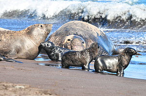 Northern elephant seal (Mirounga angustirostris) female with pups on beach, with large male behind. Guadalupe. - Stephane Granzotto