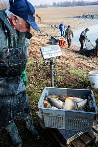 Man looking at catch of  Carp (Cyprinus carpio)  taken from drained freshwater pond, France. March 2016. - Stephane Granzotto