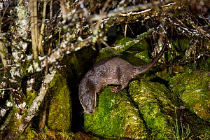 European otter (Lutra lutra) on rocks, France  -  Stephane Granzotto