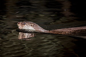 European otter (Lutra lutra) swimming, France, March.  -  Stephane Granzotto