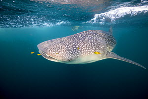 Whale shark (Rhincodon typus) with scuba diver in the backgroundTadjourah Gulf, Djibouti. - Stephane Granzotto