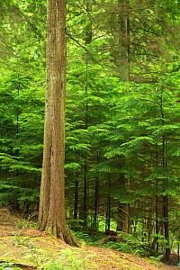 Western Hemlock (Tsuga heterophylla) natural regeneration occuring within a multi-aged woodland. Devon, England, UK, July. - Matthew Maran