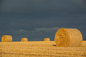 Bales of straw ready for collection for use as livestock bedding Devon, England, UK, July.  -  Matthew Maran