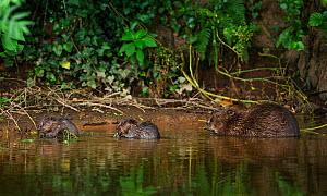 Beaver (Castor fibre) female feeding on willow bark with her two kits, River Otter, Devon, England, UK, July. Highly commended in the Habitat category of the British Wildlife Photography Awards (BWPA)...  -  Matthew Maran