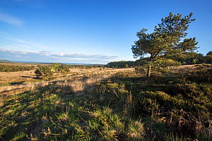 Isolated Scots pines (Pinus sylvestris) on the East Devon Pebblebed Heaths which provides popular churring / calling locations for the nightjar (Caprimulgus europaeus) Devon, England, UK, May 2014.  -  Matthew Maran
