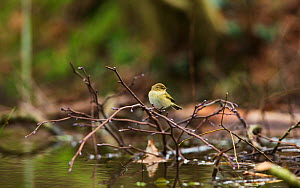 Common chiffchaff (Phylloscopus collybita) using a beaver dam to hunt for insects, East Devon, England, UK, February.  -  Matthew Maran