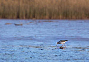 Redshank (Tringa totanus) feeding on mudflats, Otter Estuary at low tide. Devon, England, UK, February.  -  Matthew Maran