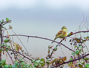 Cirl bunting (Emberiza cirlus) perched in bramble, East Devon. Populations of this species are dependent on traditional farming practices, including the maintenance of over-wntering stubble fields. De...  -  Matthew Maran