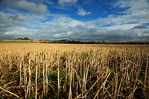 Winter field with stubble and weeds, East Devon, England, UK, November. Fields like this support farmland birds in winter providing a source of seed. - Matthew Maran