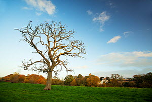 Dead oak tree (Quercus robur) casualty of prolonged flooding in the Otter Valley. Now provides a valuable nesting site for roosting bats and nesting birds, East Devon, England, UK, November.  -  Matthew Maran
