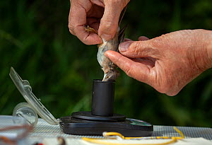 Bird ringer weighing Common whitethroat (Sylvia communis) after ringing. East Devon, England, UK, May.  -  Matthew Maran