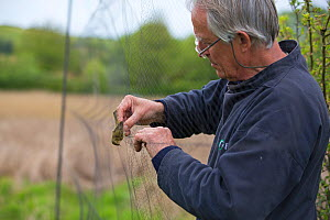 Bird ringer removing Dunnock (Prunella modularis) from mist nets in reedbeds on the Otter Estuary, Devon, England, UK. May.  -  Matthew Maran