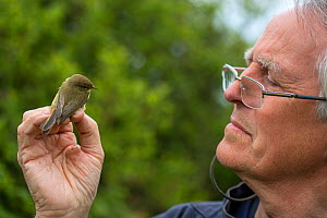 Man with Chiffchaff (Phylloscopus collybita) during ringing study, in reedbeds on the Otter Estuary, East Devon, England, UK, May 2017.  -  Matthew Maran