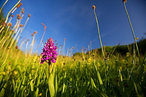 Southern marsh orchid (Dactylorhiza praetermissa) growing in calcareous grassland, near the village of Beer, Devon, England, UK, June. - Matthew Maran