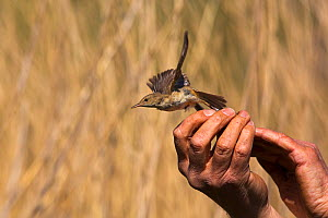 Reed warbler (Acrocephalus scirpaceus) being released after ringing,  reedbeds on the Otter Estuary, Devon, England, UK, May. - Matthew Maran