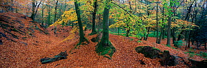 Beech trees (Fagus sylvatica) in forest around Woodbury Castle Scheduled Monument, planted in the early 19th century, East Devon, England, UK.  -  Matthew Maran