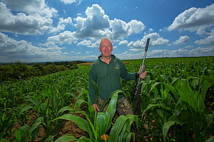Game keeper in a cover crop field used for pheasant shooting, Devon, England, UK, July 2016. - Matthew Maran
