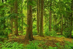 Western hemlock (Tsuga heterophylla) in forestry which uses continuous cover.  Individual high quality trees are harvested when they reach maturity. Devon, England, UK, July. - Matthew Maran