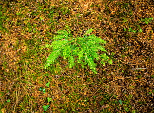 Western Hemlock (Tsuga heterophylla) seedling Natural regeneration occuring within a multi-aged woodland. Devon UK - Matthew Maran