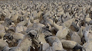 Showreel of video clips showing a flock of Common cranes (Grus grus) feeding, Agamon Hula, Hula Valley, Israel. January. The cranes are being fed on maize kernels by a farmers' co-operative to mitigat...