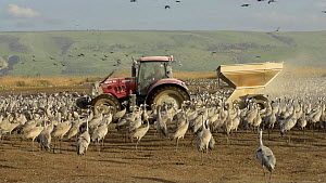 Tractor dispersing food to a large flock of Common cranes (Grus grus), Agamon Hula, Hula Valley, Israel. January. The cranes are being fed on maize kernels by a farmers' co-operative to mitigate again...  -  Chris Gomersall