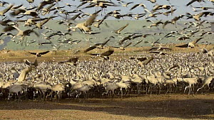 Tractor dispersing food to a large flock of Common cranes (Grus grus), Agamon Hula, Hula Valley, Israel. January. The cranes are being fed on maize kernels by a farmers' co-operative to mitigate again...