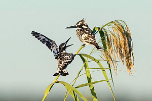 Pied kingfisher (Ceryle rudis), Chobe River, pair perching on reed, Chobe River, Botswana.  -  Guy Edwardes