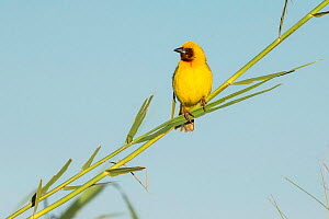 Southern brown-throated weaver (Ploceus xanthopterus) male perched on reed, Chobe River, Botswana. - Guy Edwardes