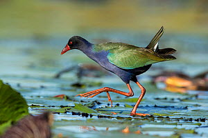 Allen's / Lesser gallinule (Porphyrio alleni) walking on waterlilies, Chobe River, Botswana.  -  Guy Edwardes