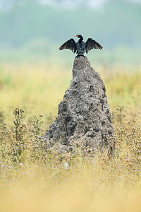 Reed cormorant (Microcarbo africanus) perched on termite mound, Khwai, Botswana. - Guy Edwardes