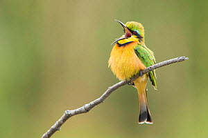 Little bee-eater (Merops pusillus) vocalising whilst perched on branch, Khwai, Botswana.  -  Guy Edwardes