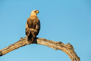 Tawny eagle (Aquila rapax) perched on branch, Savuti, Botswana.  -  Guy Edwardes