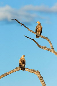 Tawny eagle (Aquila rapax), two perching on branches. Savuti, Botswana.  -  Guy Edwardes