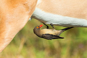 Red-billed oxpecker (Buphagus erythrorhynchus) feeding on Impala (Aepyceros melampus), Savuti, Botswana.  -  Guy Edwardes