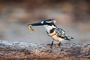 Pied kingfisher (Ceryle rudis) juvenile with frog in bill, Chobe River, Botswana.  -  Guy Edwardes