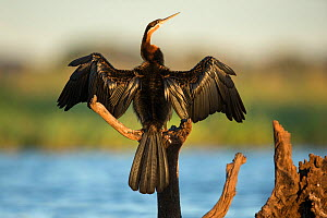 African darter (Anhinga rufa) drying wings whilst perched on branch, Chobe River, Bostwana. - Guy Edwardes