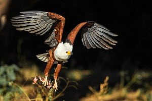 African fish eagle (Haliaeetus vocifer), Savuti, Botswana. - Guy Edwardes