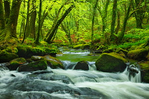River Fowey flowing through Beech (Fagus sylvatica) woodland, Golitha Falls, Bodmin Moor, Cornwall, England, UK. May 2010.  -  Guy Edwardes