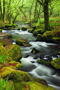 River Fowey at Golitha Falls, Bodmin Moor, Cornwall, England, UK. May 2010. - Guy Edwardes