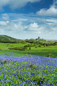 Bluebells (Hyacinthoides non-scripta) at Corfe Common, Corfe Castle in background, Isle of Purbeck, Dorset, England, UK. May 2014. - Guy Edwardes