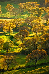 Trees with new foliage, view from Eggardon Hill, Bridport, Dorset, England, UK. May 2010. - Guy Edwardes