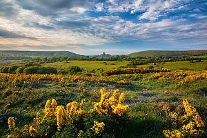 Bluebells (Hyacinthoides non-scripta) and Gorse (Ulex europaeus) on Corfe Common, Corfe Castle in background, Dorset, England, UK. May 2017.  -  Guy Edwardes