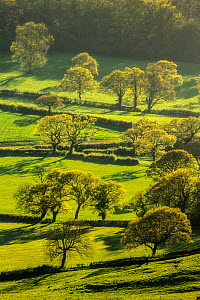 Trees and hedgerows with new foliage, view from Eggardon Hill, Bridport, Dorset, England, UK. May 2013. - Guy Edwardes