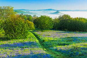 Bluebells (Hyacinthoides non-scripta) on Eype Down with Colmer's Hill in background, Bridport, Dorset, England, UK. May 2014. - Guy Edwardes