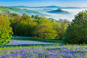 Bluebell (Hyacinthoides non-scripta) covered slope with Colmer's Hill in background, Eype Down, Bridport, Dorset, England, UK. May 2014. - Guy Edwardes