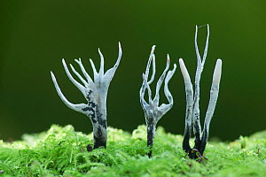Candle-snuff fungus (Xylaria hypoxylon), New Forest National Park, Hampshire, England, UK. November. - Guy Edwardes