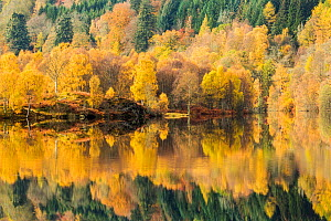 Trees reflected in Loch Tummel, Perthshire, Scotland, UK. October, 2014. - Guy Edwardes