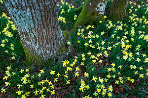 Daffodils (Narcissus pseudonarcissus), Gorbeia Natural Park, Alava, Basque Country, Spain. March.  -  Juan  Carlos Munoz
