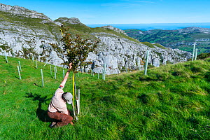 Native tree afforestation, man measuring tree, Miera Valley, Valles Pasiegos, Cantabria, Spain. October, 2017. - Juan  Carlos Munoz